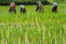 باران از تنش آبی اراضی کشاورزی تالش کاست