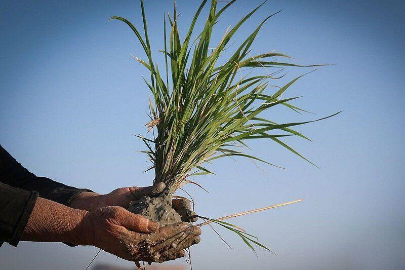 ۳۰ تن بذر برنج به شالیکاران آستارا توزیع شد
