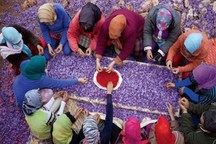 افزایش 30 درصدی تولید زعفران در چهارمحال و بختیاری