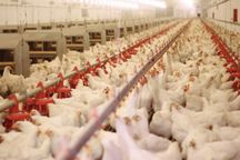 خراسان رضوی هشت درصد مرغ گوشتی کشور را تولید کرد