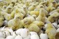 جوجهریزی در مرغداریهای سمنان ۱۴ درصد افزایش یافت