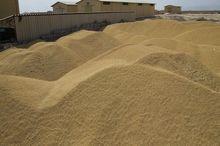 بیش از ۱۲ هزار تن گندم و کلزا از کشاورزان هرمزگان خریداری شد