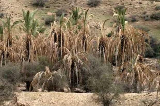 خشکسالی، نخیلات و مرکبات کازرون را تشنه کرد