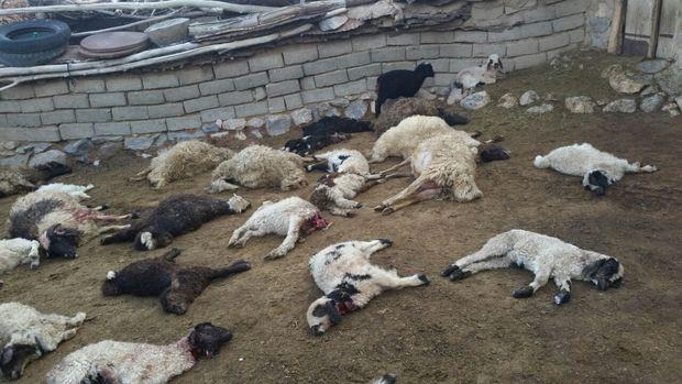 گرگها در سربیشه ۱۹۰ گوسفند را دریدند