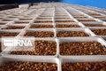 کرونا، صنعت خرمای خوزستان را متضرر کرد