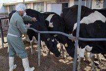 بیماری سل گاوی در خراسان جنوبی تحت کنترل است