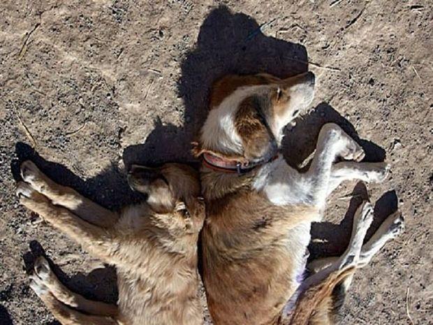 سگ های تلف شده در لرستان مبتلا به کرونا نبودند