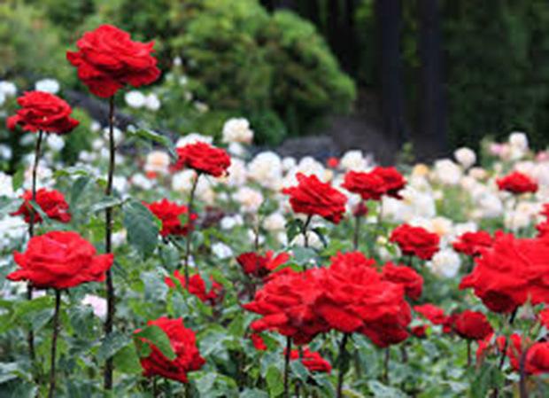 تولید پایه گل رز به روش قلمه پیوند بومی سازی شد