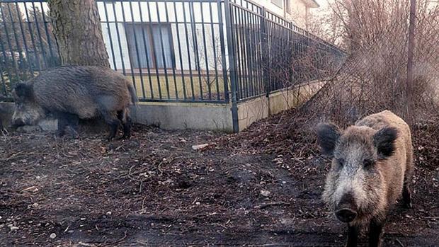 ثبت اولین مورد ابتلا به تب خوکی در آلمان