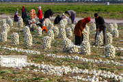 ۲ هزار و ۷۵۰ کشاورز در استان مرکزی خدمات صندوق بیمه اجتماعی دریافت کردند