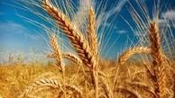 خبر خوش برای گندم کاران قزوین