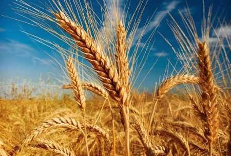 خرید تضمینی یک میلیون و 206 هزار تن گندم در خوزستان