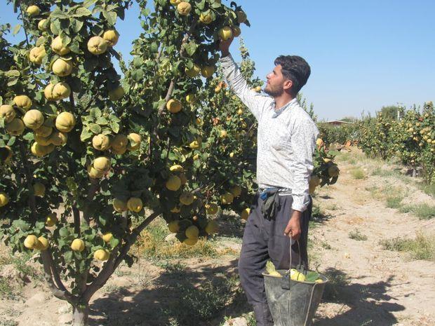 افزون بر ۹۰۰ تن بِه از باغهای شهربابک برداشت میشود