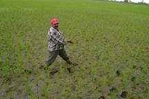 سایه خشکسالی بر سر شالیزارهای آستارا