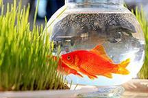 شهروندان ماهیان قرمز را در حوض بوستانها رها کنند