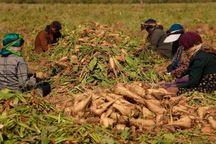 کشاورزان به دنبال فروش چغندر؛کارخانه داران در پی دریافت مطالبات یارانه ای